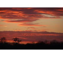 Flocking geese at sunset  Photographic Print