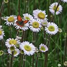 American Copper on Daisies by perpetualphoto