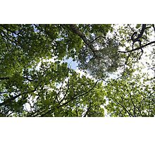 Bluebell Woods treetops Photographic Print