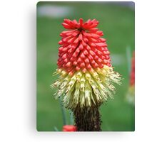Red Hot Poker Canvas Print