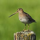 Wilson's Snipe in Mid Morning Light by Bill McMullen