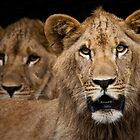 Young Lions by Bobby McLeod