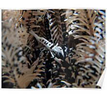 Feather Star Shrimp Poster