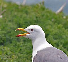Lesser Black Backed Gull (Larus fuscus) by Chris Monks
