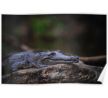Cape York Crocodile 002 Poster