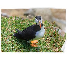 Puffin, Saltee Island, County Wexford, Ireland Poster