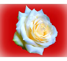 White Rose. Photographic Print