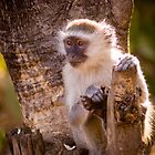 Malawian Monkey by Tim Cowley