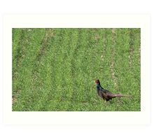 Common pheasant in the grass Art Print