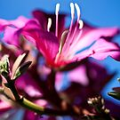 Bauhinia spp. by Adriano Carrideo