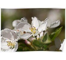 Crab apple blossom. Poster