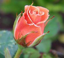Rosebud 04 by LoneAngel