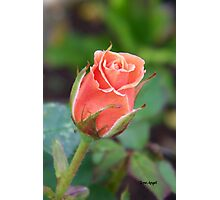 Rosebud 04 Photographic Print