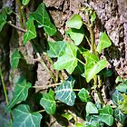 Ivy on Bark by spamheadsmum