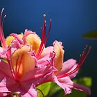 Macro Rhododendron by spamheadsmum