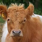 Belted Galloway by RedHillDigital