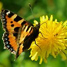 Small Tortoiseshell by Russell Couch
