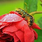 Caterpillar on rain drenched Rose by Susan Blevins