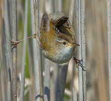Marsh Wren by Wayne Wood
