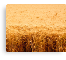 California Wheat Field Canvas Print