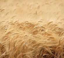 The Wheat Field by Buckwhite