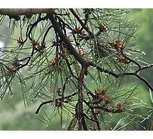 Pine Cluster Photographic Print