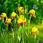 Yellow Iris by Kathy Nairn