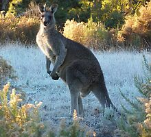 Kangaroo in the morning frost, Hill End, NSW  by DashTravels