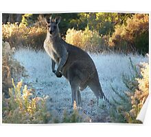 Kangaroo in the morning frost, Hill End, NSW  Poster