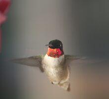 colibri à gorge rubis by claude50
