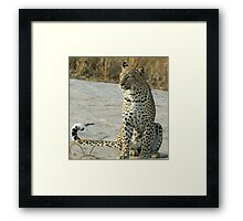 Young confident adult leopard! Framed Print