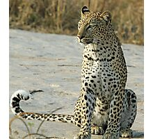 Young confident adult leopard! Photographic Print