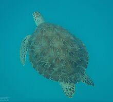 Wild Green Sea Turtle by caybeach