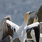 Welcome home, gannets, Saltee Island, County Wexford, Ireland by Andrew Jones