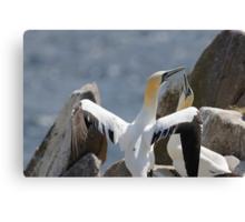 Welcome home, gannets, Saltee Island, County Wexford, Ireland Canvas Print