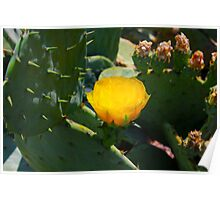 Yellow Cactus Flower By Jonathan Green Poster