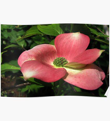Pink Dogwood - Cornus florida rubra Poster