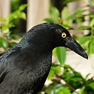 Pied Currawong, Strepera graculina by Trish Meyer