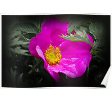 "Wild Rose of North America ""Sea Mist"" Poster"