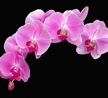 Pink Phalaenopsis Orchid by Floyd Hopper