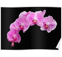 Pink Phalaenopsis Orchid Poster