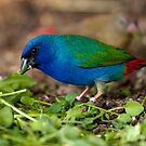 Tri Coloured Parrot Finch by Sharon Bree