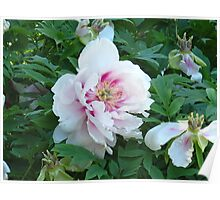 Perfect Peony Poster