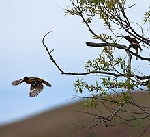 Black-headed Grosbeak, in flight by c painter
