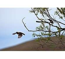 Black-headed Grosbeak, in flight Photographic Print