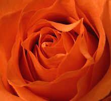 Orange Rose Petals by hummingbirds