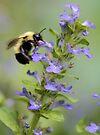 Blue Ajuga -- Bumble Bee by T.J. Martin