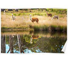 Alpacas in a field  Poster