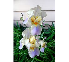Irises All In A Row Photographic Print