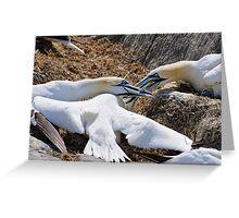 Territorial tussle, gannets fighting, Saltee Island, County Wexford, Ireland Greeting Card